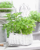 Mixed mint varieties