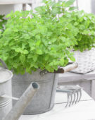 Mixed herbs, oregano