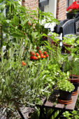 Herbs and vegetables on pots