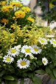 Agastache, Leucanthemum Snow Lady