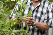 Harvesting broad beans