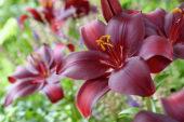 Lilium red