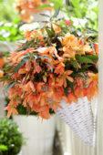 Begonia Beauvilia Salmon