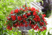 Begonia Beauvilia Red