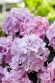 Hydrangea Spike ® Pink
