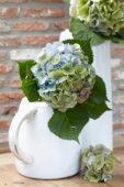 Hydrangea flower in vase