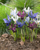 Iris reticulata Famke, purple, Ice blue, GS Baby Blue