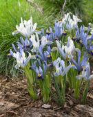 Iris reticulata Gordon, Ice Blue 313