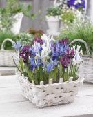 Iris reticulata Famke, Gordon, purple, GS Baby Blue