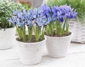 Iris reticulata combination