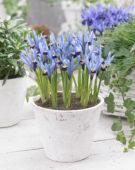 Iris reticulata Gordon