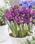 Iris reticulata purple