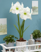 Hippeastrum Moscow ®