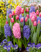 Tulipa Leo Visser, Hyacinthus mixed