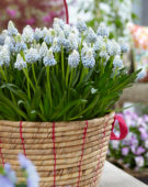 Muscari Mountain Lady ®