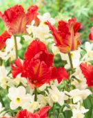 Tulipa Garden Fire