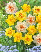Narcissus double flowered mix