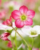 Saxifraga pink