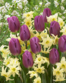 Tulipa Purple Flag, Narcissus Exotic Mystery
