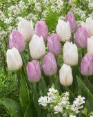 Tulipa Candy Prince, Tulipa White Prince