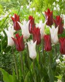 Tulipa Peter de Vries, Très Chic