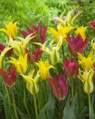 Tulipa Dance mix