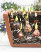 Layer planting of flower bulbs