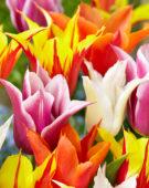 Tulipa leliebloemige mix