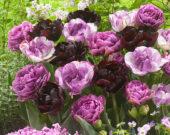 Tulipa dubbel mix in roze en paars