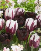 Tulipa Rems Favourite, Palmyra