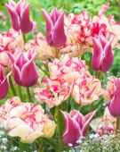 Tulipa Ballade, Belicia