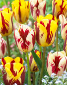 Tulipa Grand Perfection, Helmar