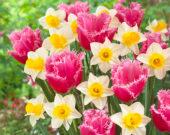 Narcissus Mrs Iwasa Masako, Tulipa Cacharel