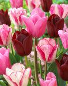 Tulipa mix in roze en rood