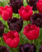 Tulipa Burgundy Lace, Cuban Night