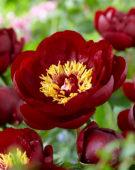 Paeonia Buckeye Belle