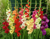 Gladiolus Butterfly mixed