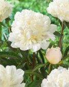 Paeonia Miss Kelly