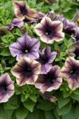 Petunia Happy Magic Dark Caramel Star