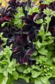 Petunia Happy Magic Giant Black Bordeaux
