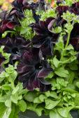 Petunia Happy Magic Giant Black Bordeaux