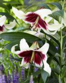 Lilium bicolour