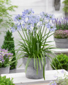Agapanthus Little Dutch Blue