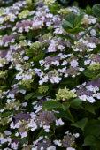 Hydrangea macrophylla Ave Maria