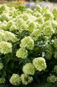 Hydrangea paniculata Little Lime®