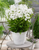 Phlox Sweet Summer Snow