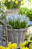 Muscari in basket