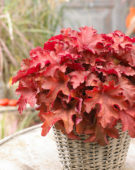 Heuchera Cranberry