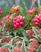 Gaultheria mucronata, Skimmia japonica Mystic Marlot