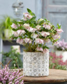 Helleborus orientalis Double Ellen® Pink Spotted